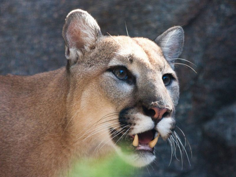 Researchers recently found that mountain lions in California and Florida sometimes carry a virus that is native to a different feline species, the bobcat. In all those cases, however, the mountain lion picked up the virus from exposure to an infected bobcat. Perhaps someday the virus will become infectious in the mountain lions, too, but for now, that cross-species transfer is incomplete.