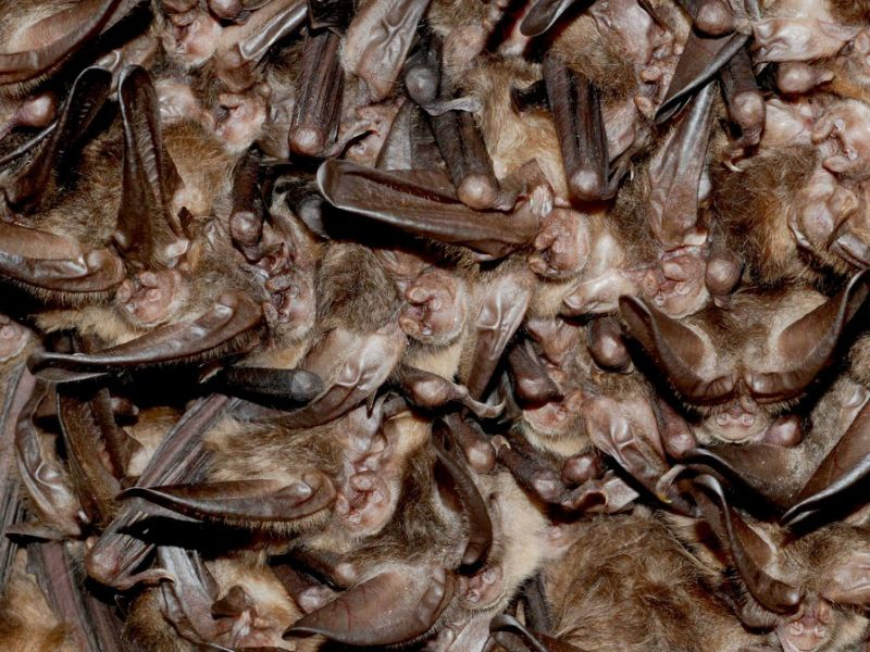 Bats roost and hibernate together in gigantic numbers, which increases the opportunities for them to pass around novel viruses they have acquired.
