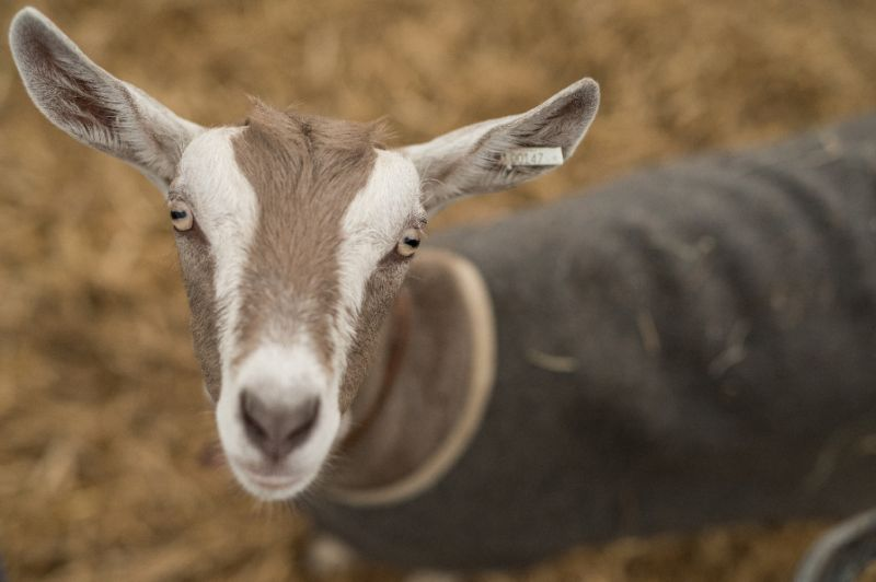 Shown two pictures of the same person -- one with a happy expression and the other angry -- 20 domesticated goats in an experiment were more likely to approach the smiling image and touch it with their snout