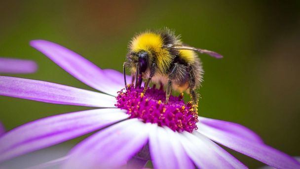 PHOTO: A bumblebee gathers pollen from a flower in this undated stock photo. (STOCK PHOTO/Getty Images)