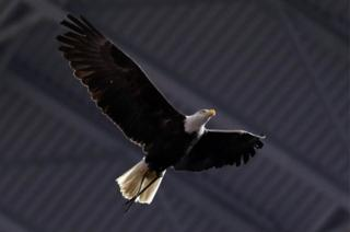 Clark, an American bald eagle
