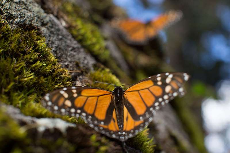 Butterflies are at particular risk of extinction