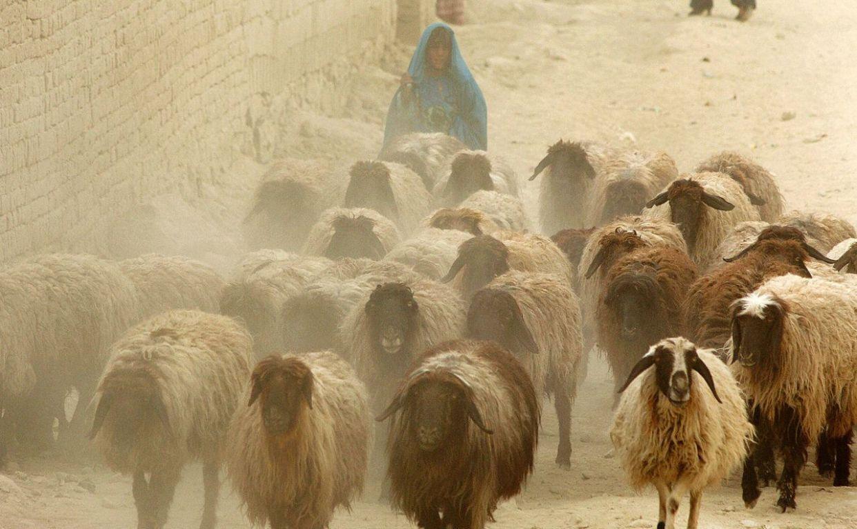 <span>アフガニスタン</span>は山が多く、内陸で乾燥した国だ。<span>国連</span>はアフガニスタンを、気候変動によって最も影響を受ける国の一つに認定し、600万ドルをかけて支援を行っている。 <br><br> 気候変動により、アフガニスタンでは干ばつや洪水が増え、砂漠化が進む可能性がある。また、約30年にわたって続いた戦争後の農業や安全の発展を<span>阻害する</span>と、GCCAは警告する。 <br><br> 上の写真はカブールで埃まみれの道を羊と歩くアフガニスタンの少女だ。2007年に撮影された。