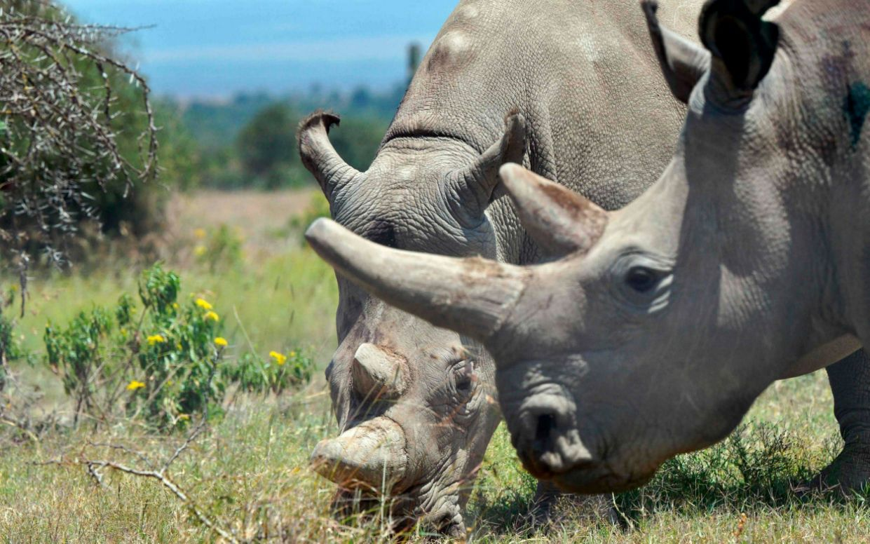 Najin, 30, and her offspring Fatu, 19, (right) two female northern white rhinos, are the last two northern white rhinos left on the planet - AFP