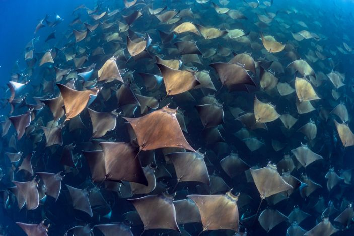 Ocean Art Marine Life Behaviorhm_Jay_Clue_Gigantic aggregation of Munks Devil Rays in Baja California Sur