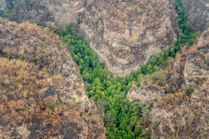 The Australian government has kept the location of the native Wollemi pines secret after they were discovered in 1994. (Photo: New South Wales Government)