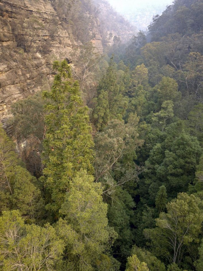 """Wollemi National Park is the only place in the world where these trees are found in the wild,"" Environment Minister Matt Kean said. (Photo: New South Wales Government)"