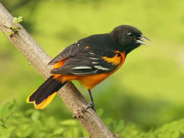 Baltimore Oriole by Ryan Schain, Macaulay Library at Cornell Lab of Ornithology 41874221