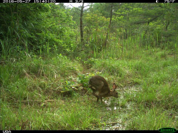 Fukushima Wild hare