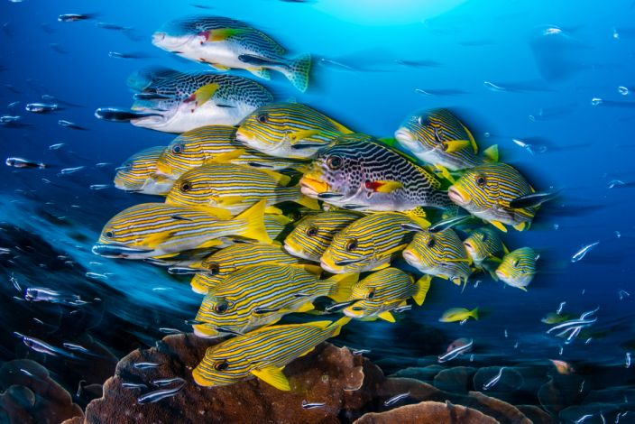 Ocean Art Wide Angle1_Nicholas_More_A blur of Sweetlips