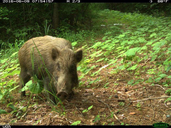 Fukushima Wild boar