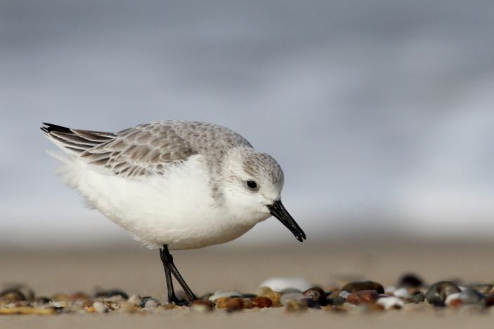 Sanderling by Andy Eckerson, Macaulay Library at Cornell Lab of Ornithology 83166281.JPG