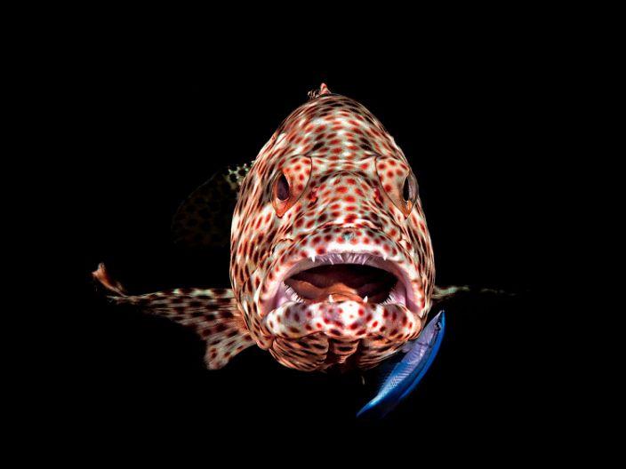 Ocean Art Compact Behavior1_Ferenc_Lorincz ifj._Open mouth Grupper.JPG