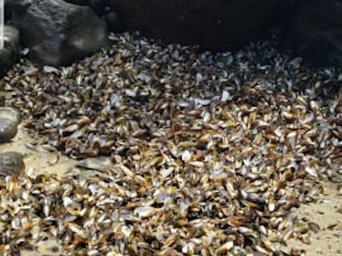 Mussels that washed up on the Maunganui Bluff Beach in Aranga, New Zealand.