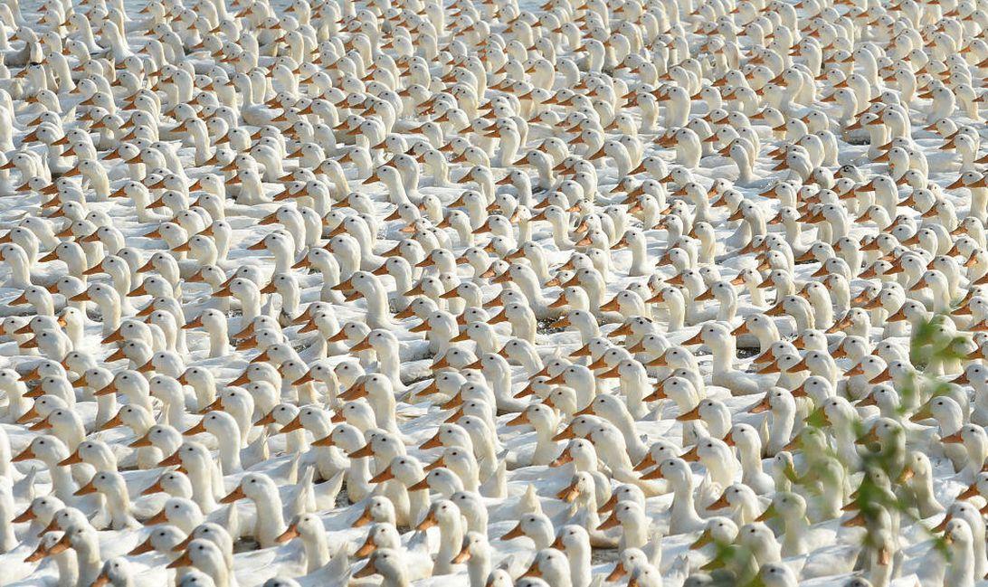 Ducks. So many ducks.
