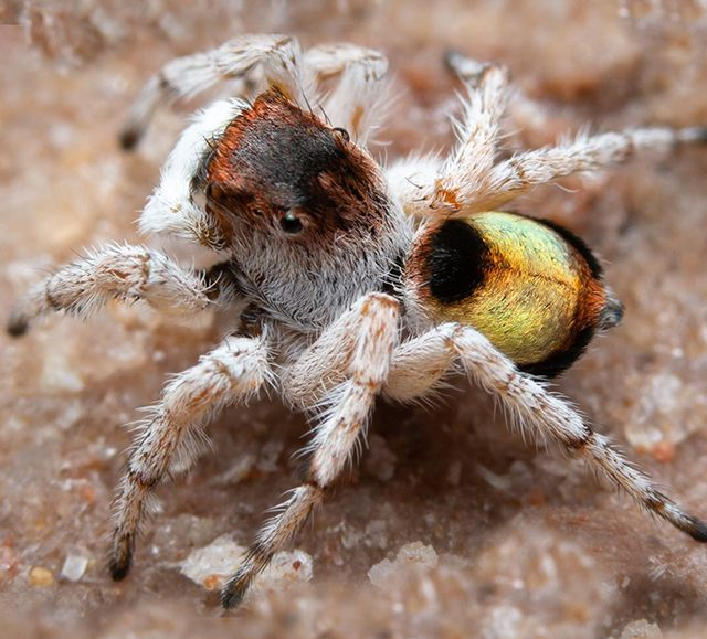 Maratus volpei: There are now 85 species of peacock spider described in the literature