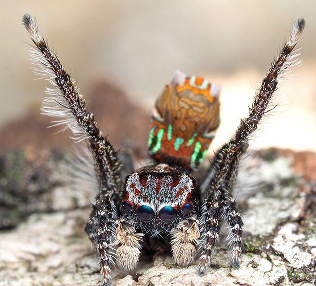 Maratus noggerup: Peacock spiders are found in Australia