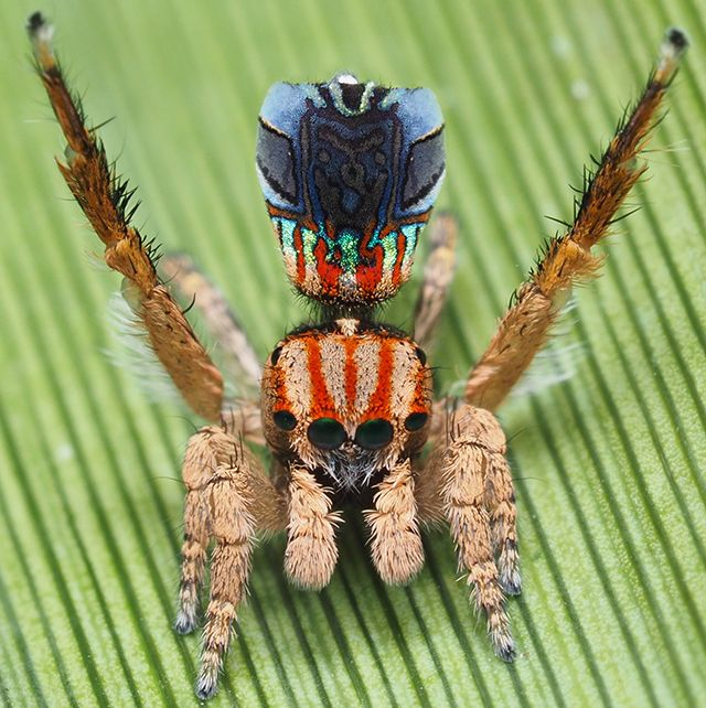 Maratus azureus: It's common for the male spiders to wave their third pair of legs in a courtship dance