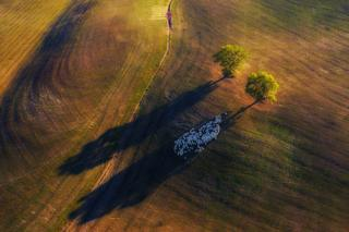 An aerial view of a field with sheep standing in the long shadow of a tree