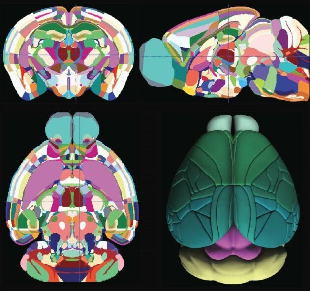 The Allen Mouse Brain Common Coordinate Framework was annotated directly in multiplanar views. Tiny blocks of cells known as voxels were assigned to 43 cortical areas and their layers, 329 subcortical gray matter structures, 81 fiber tracts and eight ventricular structures. (Allen Institute for Brain Science)