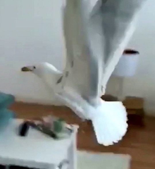 Video grab of the moment a seagull breaks into a woman's house - before violently throwing up on the kitchen counter. See SWNS story SWSYseagull. This is the moment a seagull breaks into a woman's house - before violently throwing up on the kitchen counter. Footage shows the bulky bird waltzing through the open garden door in front of tenants Natalie Wattenbach, 27, and Charlotte Morley, 28. It is seen waddling around the house to cries of 'Get out!' before it flies across the living room appearing to head towards the garden door. But it then takes a detour to he kitchen counter and begins to ga
