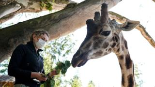 A zookeeper wearing a protective face mask feeds giraffes in its enclosure on the reopening day of Pairi Daiza animal park in Brugelette on May 18, 2020
