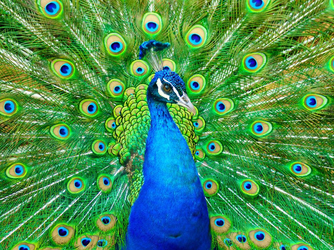 A peacock spreads its gloriously colored feathers.