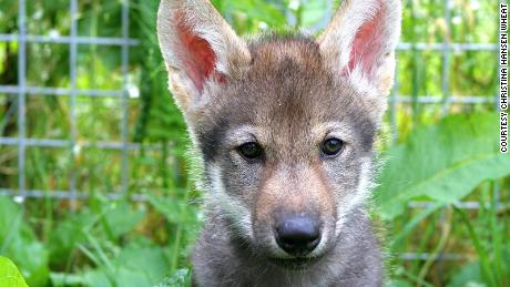 Wolf puppies, like domesticated dogs, love to play fetch