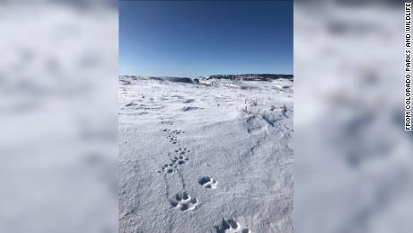 A group of wolves were spotted in Colorado. It's the first pack to call the state home in nearly 100 years
