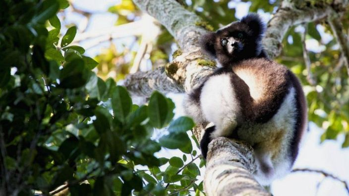 Lemurs are unique to the forests of Madagascar