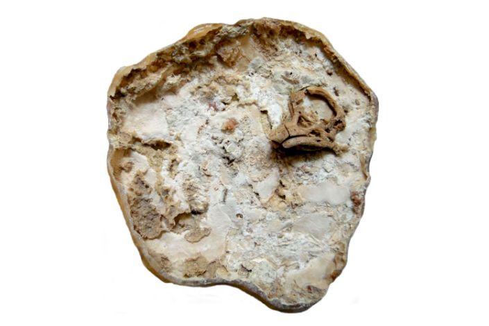 The titanosaur embryo fossil. (Martin Kundrát via The New York Times)