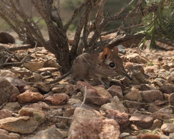 This handout photo obtained from Global Wildlife Conservation on August 14, 2020 and taken in February 2019 at the field site Assamo in the Republic of Djibouti by Richard Heritage/Duke University Lemur Center shows the first-ever photo of a live Somali Sengi or Somali elephant shrew, one of the 25 most wanted lost species, for scientific documentation. - For half a century, many believed the Somali Sengi to be lost. But the tiny, proboscis-nosed mammal lived quietly away from humans in rocky areas of the Horn of Africa, scientists said on August 18, 2020.