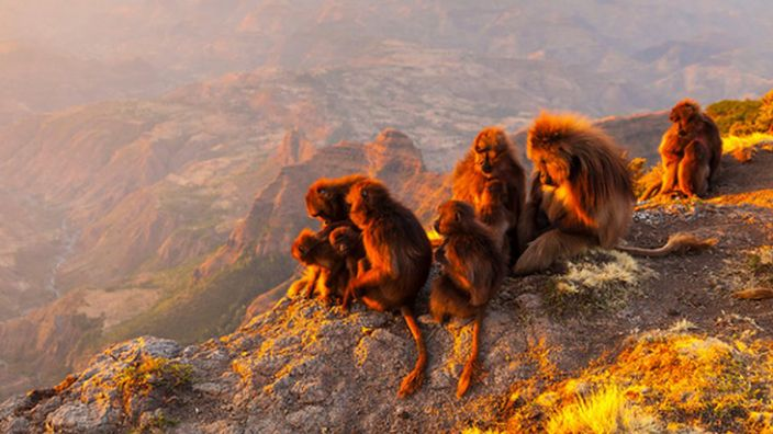 For some primates, life depends of being part of a stable group