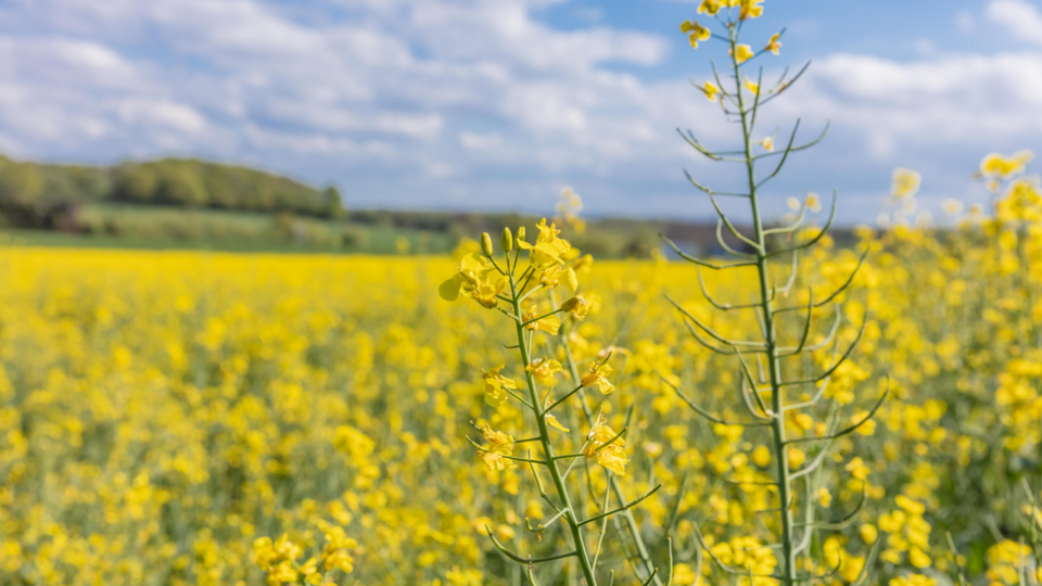 Rapeseed is an important energy crop and could be used for BECCS