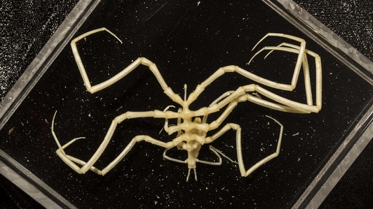 sea-spider-abyss-credit-rob-zugaro.png