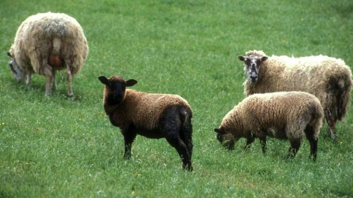 Sheep farming is part of British history