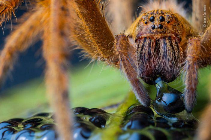 "A large wandering spider in Manduriacu Reserve, northwestern Ecuador. <p class=""copyright"">Jaime Culebras/Wildlife Photographer of the Year</p>"