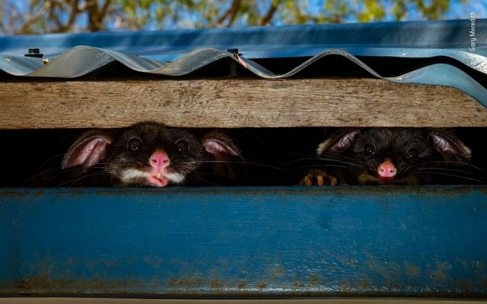 """Two common brushtail possums under the roof of a shower block in a park in Yallingup, Australia. <p class=""""copyright"""">Gary Meredith/Wildlife Photographer of the Year</p>"""