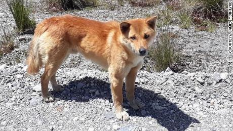 The dogs were rediscovered in 2016 near the Grasberg gold and copper mine in Papua, Indonesia.