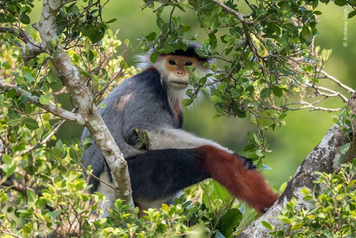 """A red-shanked douc langur languishes in a treetop in Vietnam's Son Tra Nature Reserve. <p class=""""copyright"""">Arshdeep Singh/Wildlife Photographer of the Year</p>"""