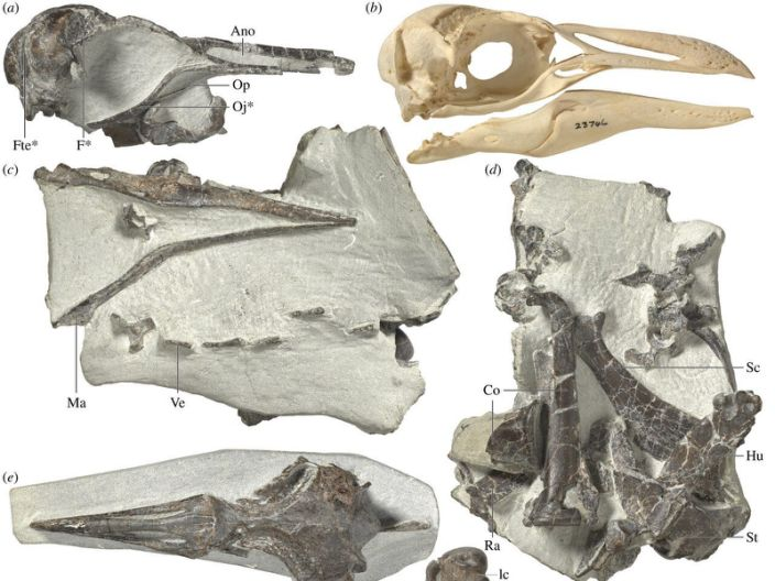 "Fossils of Eudyptes atatu show its key features, including a narrower beak (top left) than that of the modern-day Snares crested penguin (top right). <p class=""copyright"">Jean-Claude Stahl, R. Paul Scofield/Museum of New Zealand Te Papa Tongarewa, Canterbury Museum</p>"