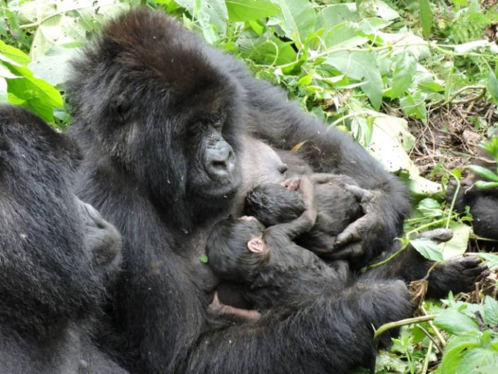 A gorilla at the Virunga National Park in the Democratic Republic of Congo breastfeeds her new-born twin babies on Tuesday.