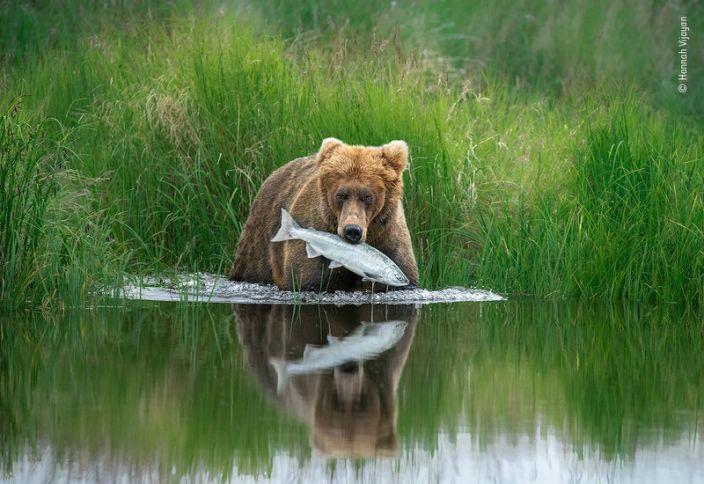 "A brown bear pulls a salmon from the shallows of a river in Alaska's Katmai National Park. <p class=""copyright"">Hannah Vijayan/Wildlife Photographer of the Year</p>"