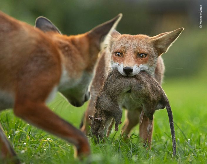 """A young fox holds a dead brown rat as her brother attempts to take it in northern London, England. <p class=""""copyright"""">Matthew Maran/Wildlife Photographer of the Year</p>"""