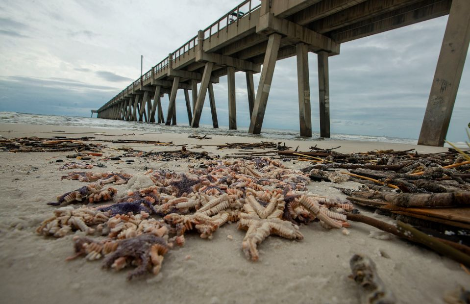 Starfish litter the beach near the Navarre Beach Pier Saturday, September 19, 2020. Thousands of Starfish washed up on the beach in Navarre during Hurricane Sally.