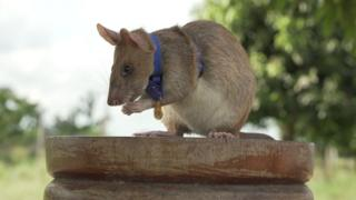 Magawa the giant African pouched rat