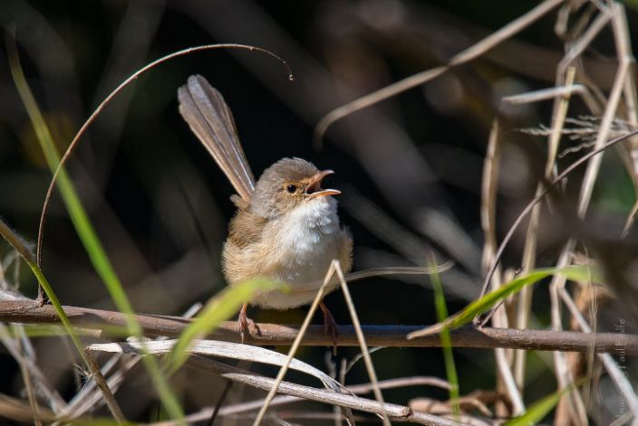 "<span class=""caption"">Female song is common among fairywrens, like this red-backed fairywren.</span> <span class=""attribution""><a class=""link rapid-noclick-resp"" href=""https://flic.kr/p/XqFbHC"" rel=""nofollow noopener"" target=""_blank"" data-ylk=""slk:Paul Balfe/Flickr"">Paul Balfe/Flickr</a>, <a class=""link rapid-noclick-resp"" href=""http://creativecommons.org/licenses/by/4.0/"" rel=""nofollow noopener"" target=""_blank"" data-ylk=""slk:CC BY"">CC BY</a></span>"