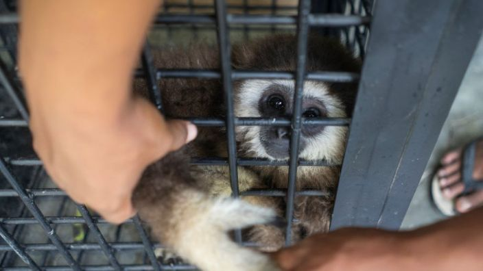 An endangered white-handed gibbon: The right conservation strategies can save the day