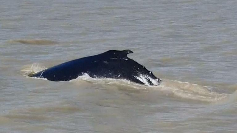 Humpback whale ends up in river