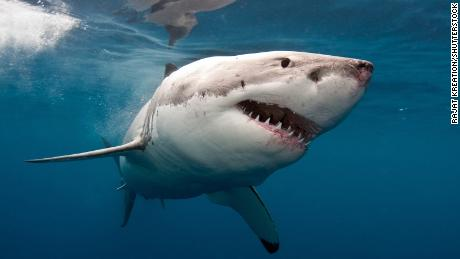 An Australian surfer repeatedly punched a great white shark to save the woman it was attacking